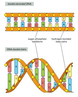 Dna Double Helix Labeled A dna strand has an